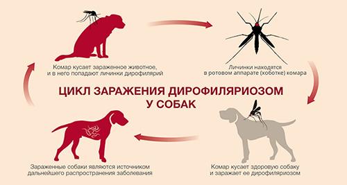 О дирофиляриозе у собак